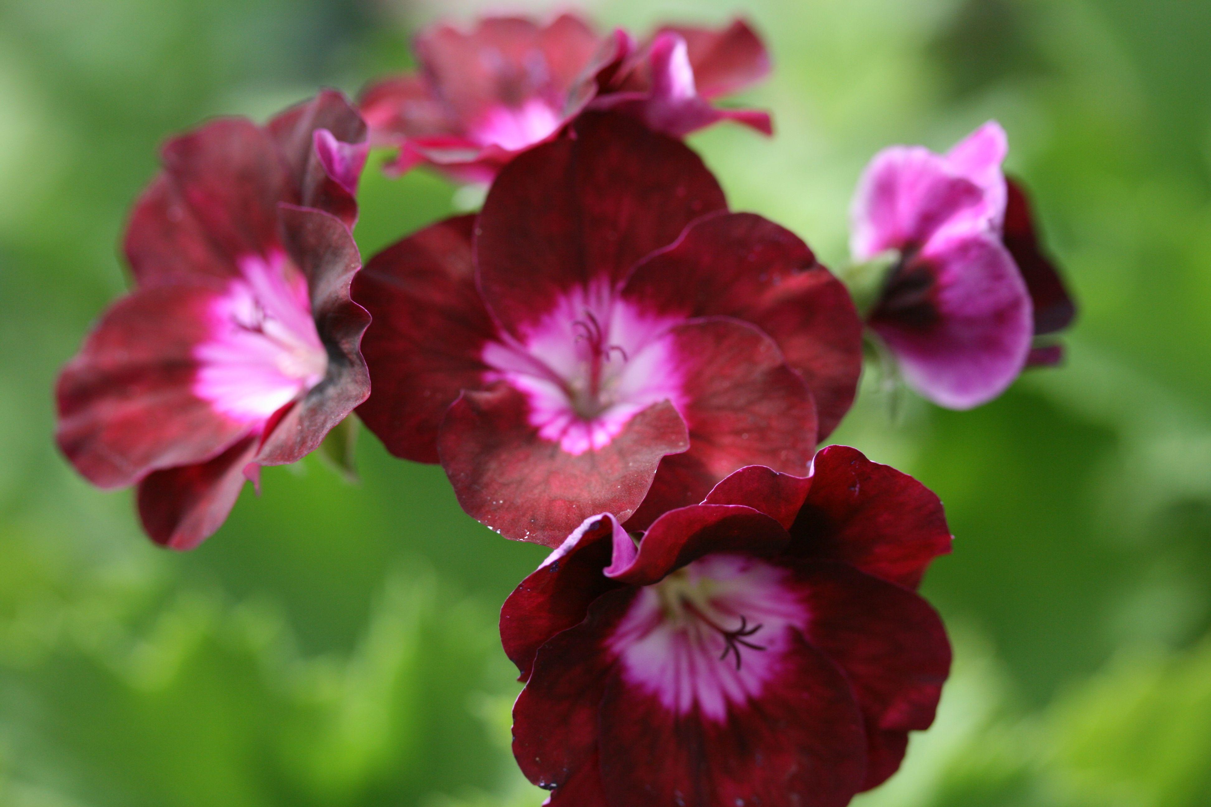 Pelargonium Our Gynette Plants Geraniums Purple Flowers