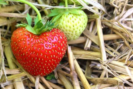 Remember the STRAW when growing STRAWberries!