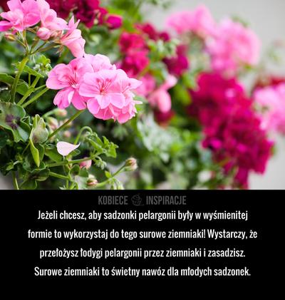 Jezeli Chcesz Aby Sadzonki Pelargonii Byly W Wysmienitej Formie To Wykorzystaj Do Tego Surowe Ziemniaki Wystarczy Ze Przelozy Garden Plants Plants Geraniums