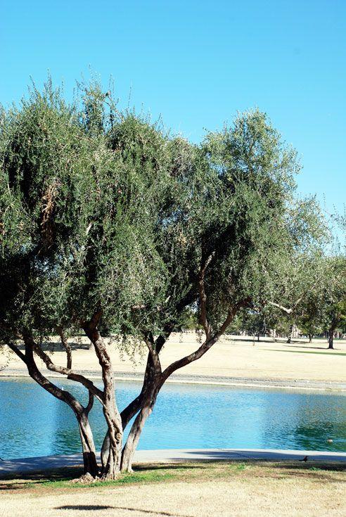 Olive Tree Multi Trunk Google Search