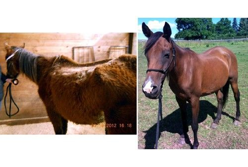 Oregon woman sentenced to ONLY 16 days in jail for animal neglect after having 10 horses seized from her who were severely underweight. While I'm glad they tried her for each horse separately but the sentence seems lacking. Although, I am happy that they have recovered nicely ~ Mary before (L) and after (R)