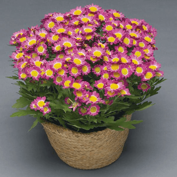 Chrysanthemum House Plant Care With Pot House Plant Care Chrysanthemum Care Flowers