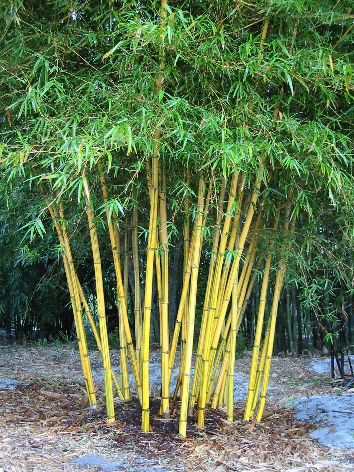 Bambusa pervariabilis 39 viristratus 39 bamboo bamboo - Tipos de bambu ...