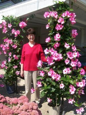 Mandevilla vine gardening ideas pinterest blommor for Dipladenia malattie