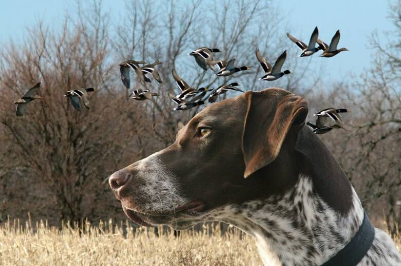 German Shorthaired Pointer Puppies For Sale in Maine