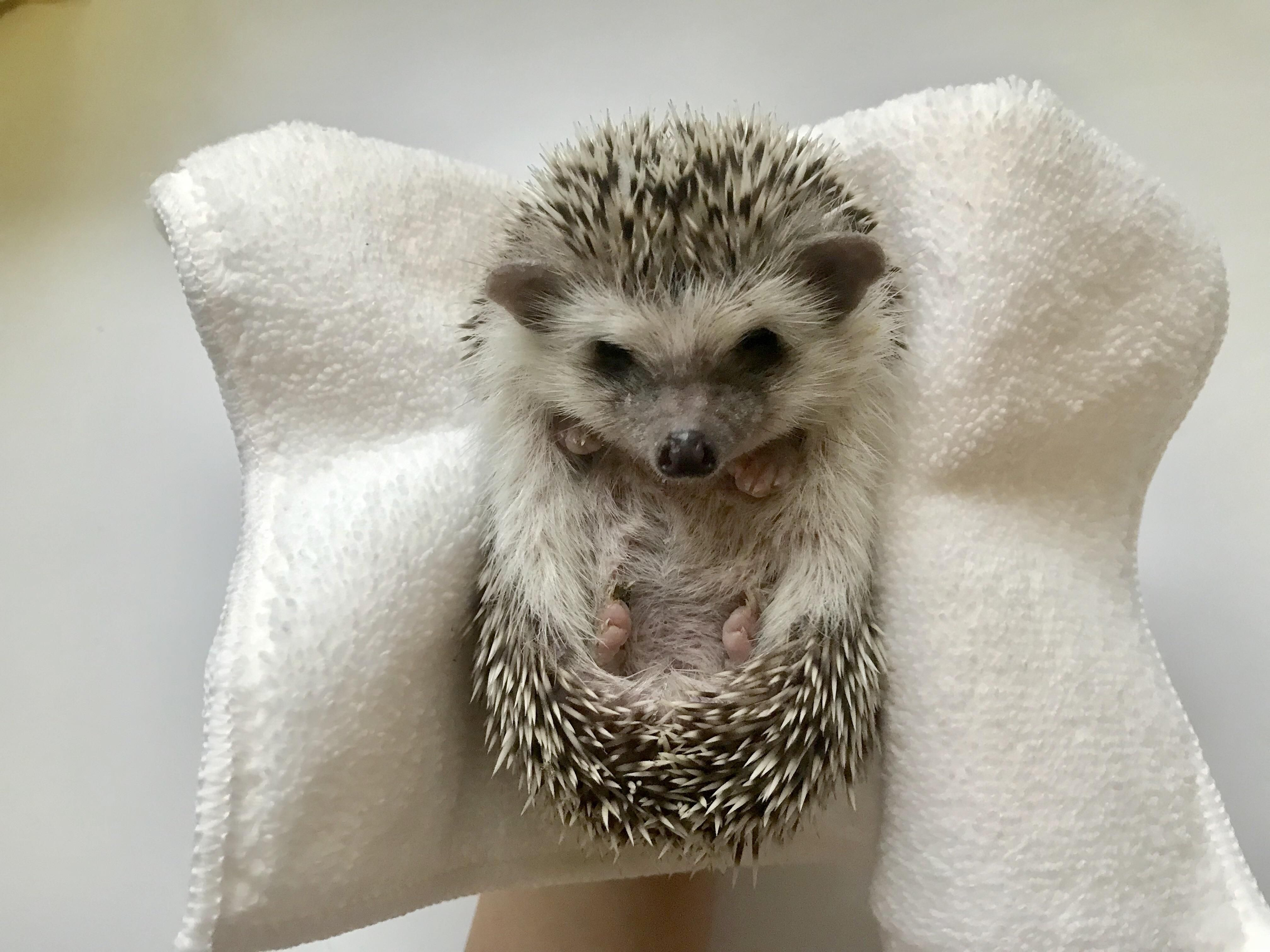 How to befriend the little one my hedgehog is super shy