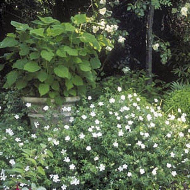 g ranium vivace sanguineum album fleurs pinterest. Black Bedroom Furniture Sets. Home Design Ideas