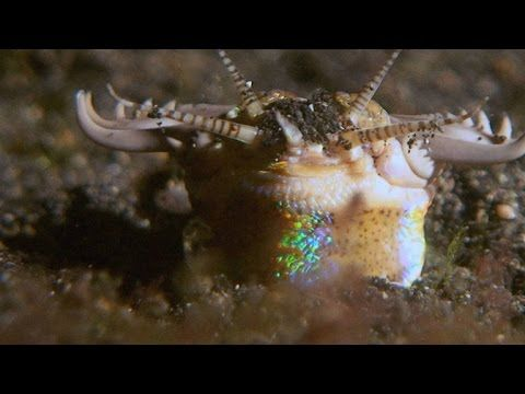 Sand strikers, also known as bobbit worms, are primitive-looking - haus der k chen worms