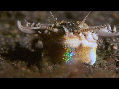 Sand strikers, also known as bobbit worms, are primitive-looking - haus der küchen worms