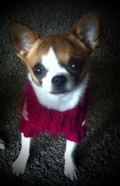 Chihuahua Charlotte getting ready for Fall weather.