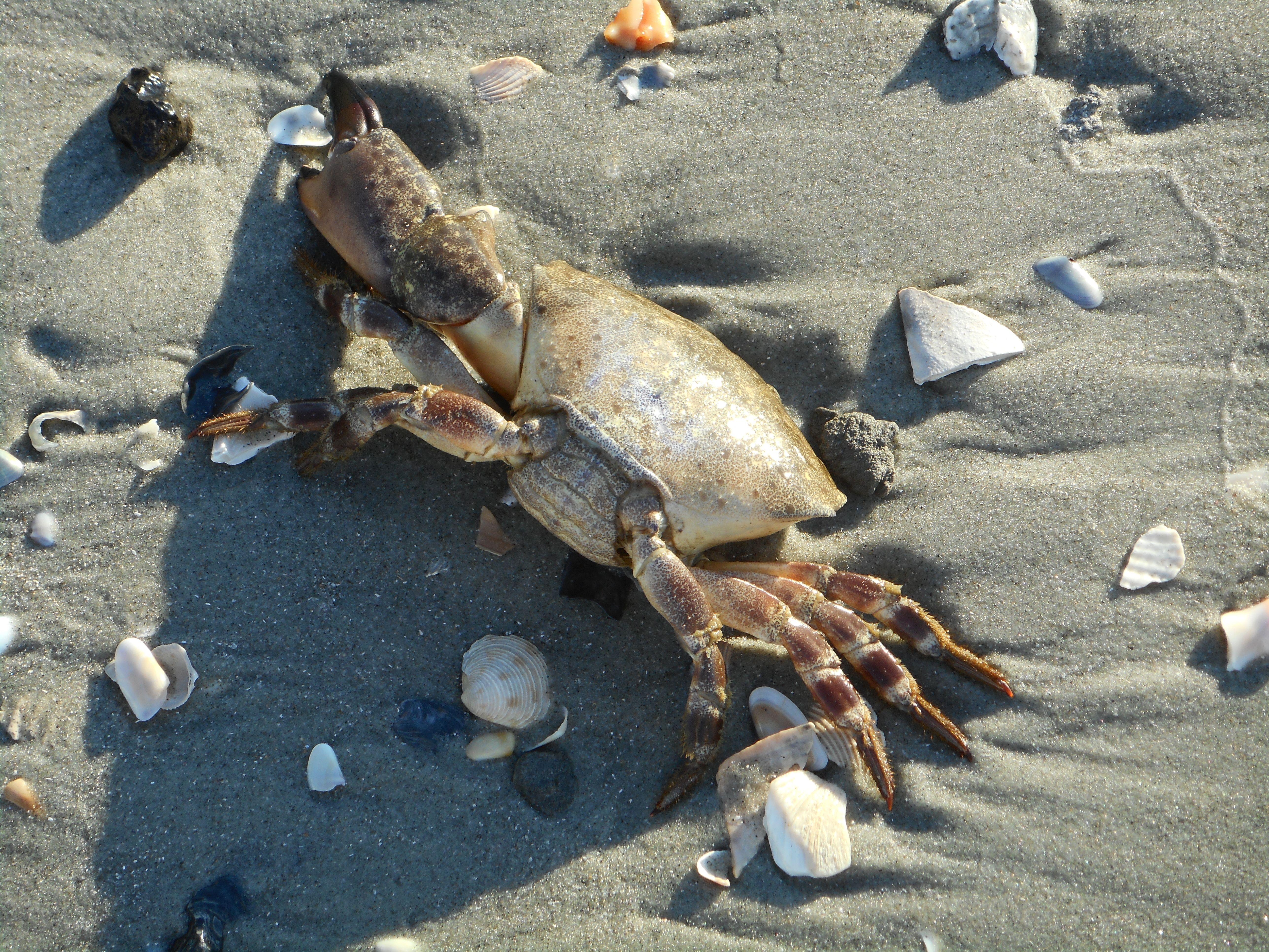 Beached Crab North Myrtle Beach Myrtle Beach Crab