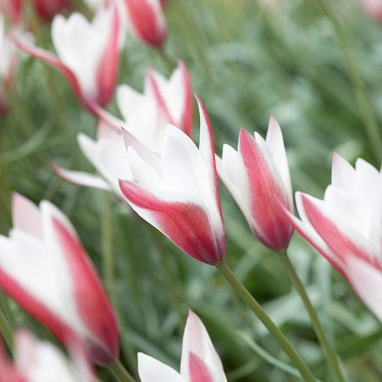 Top Tulips That Come Back Every Year Early Spring Flowers Bulbous Plants First Flowers Of Spring