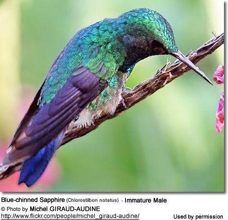 Blue-chinned Sapphire Hummingbird