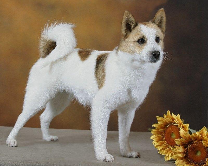 Norrbottenspets Nordic Spitz Dog Breeds Dog Breeds Pictures Calm Dog Breeds