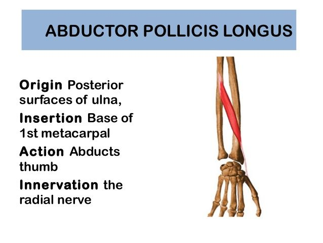 abductor pollicis longus origin and insertion - google search, Cephalic Vein