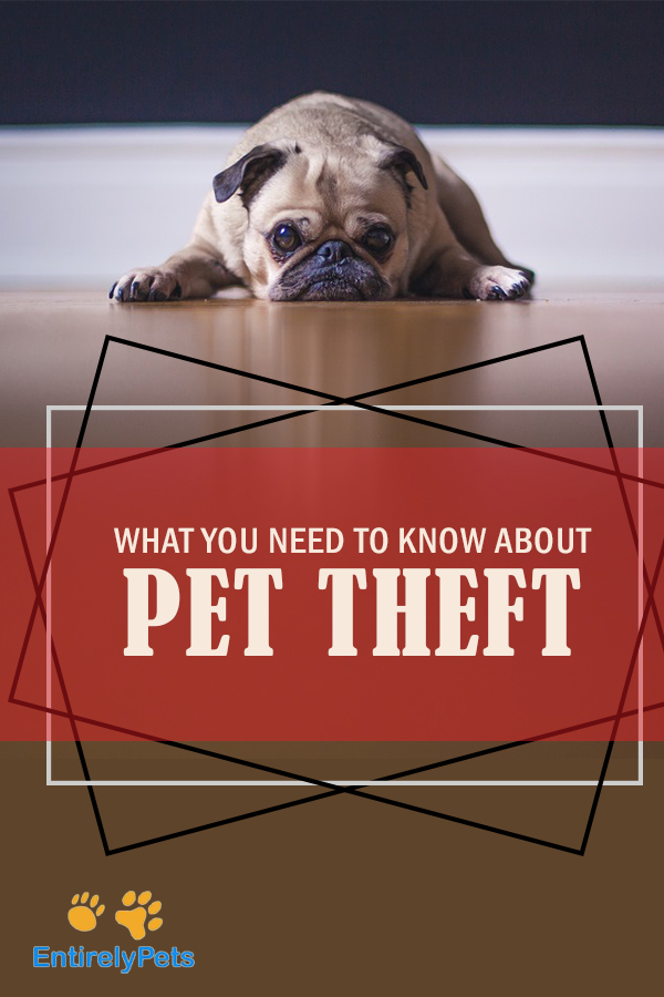 What You Need To Know About Pet Theft Entirelypets Blog Pets Losing A Pet Purebred Cats