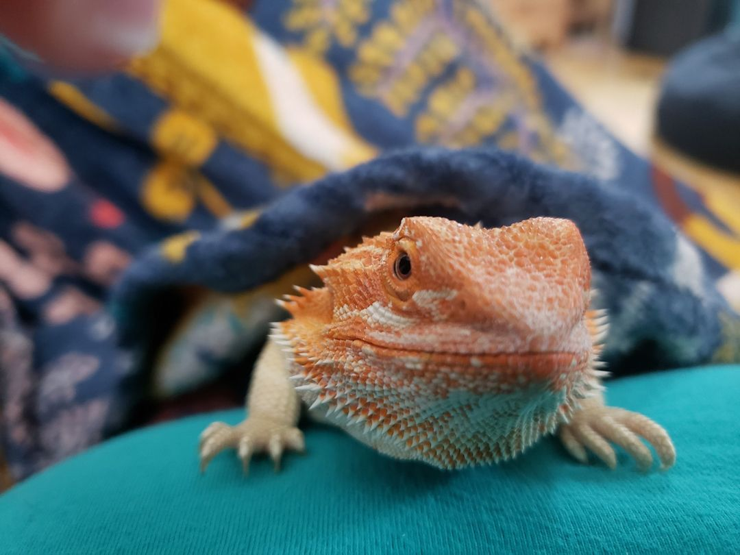 Is bearded dragon the right pet for you? in 2020 Bearded