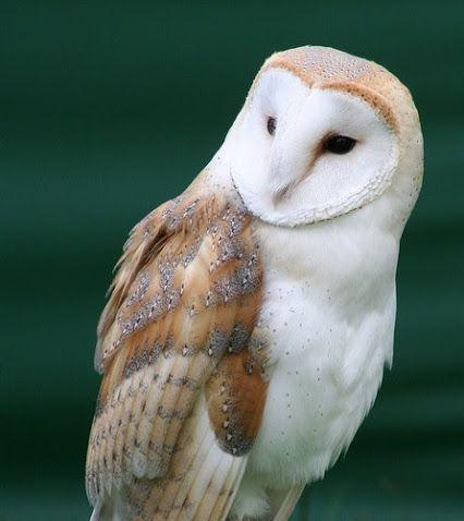 8122b6c517cd Kittike oldala - G-Portál | B Birds | Barn owl sounds, Owl, Owl bird