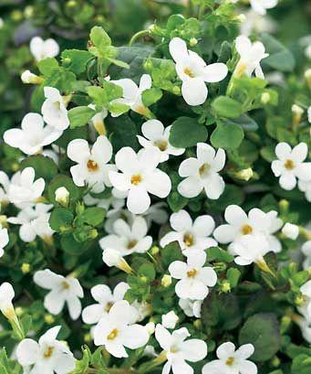 Bacopa - Sutera cordata 'Cabana® White'