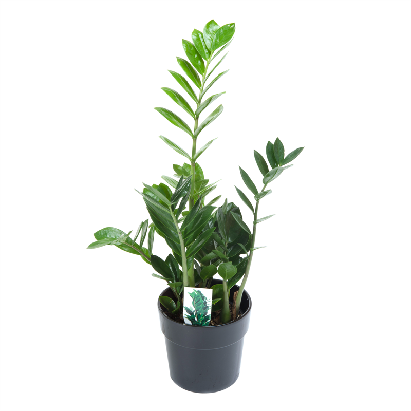 140mm ZZ Plant Zamioculcas zamiifolia Plants, Indoor