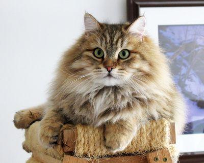 Siberian cat, Siberian cats,Siberian kitten,Siberian kittens