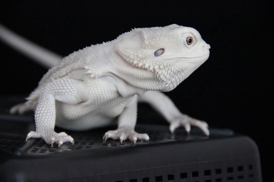 Witblits , my dream dragon  $4,000 !!! | Dragons | Bearded dragon