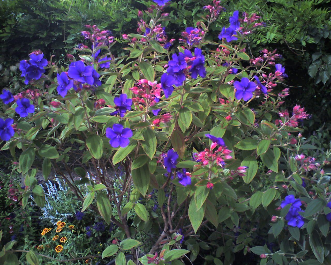 Tibouchina urvilleana bush Trees and Plants Pinterest