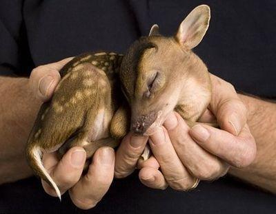 real bambi
