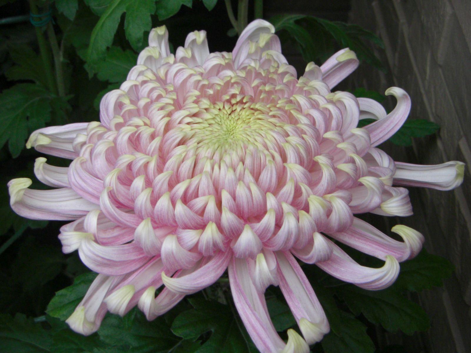 Japanese chrysanthemum google search flower design pinterest