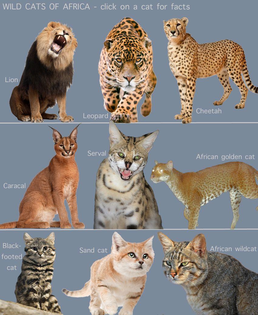 Wild Cats of Africa (for kids) Wild cat breeds, Wild