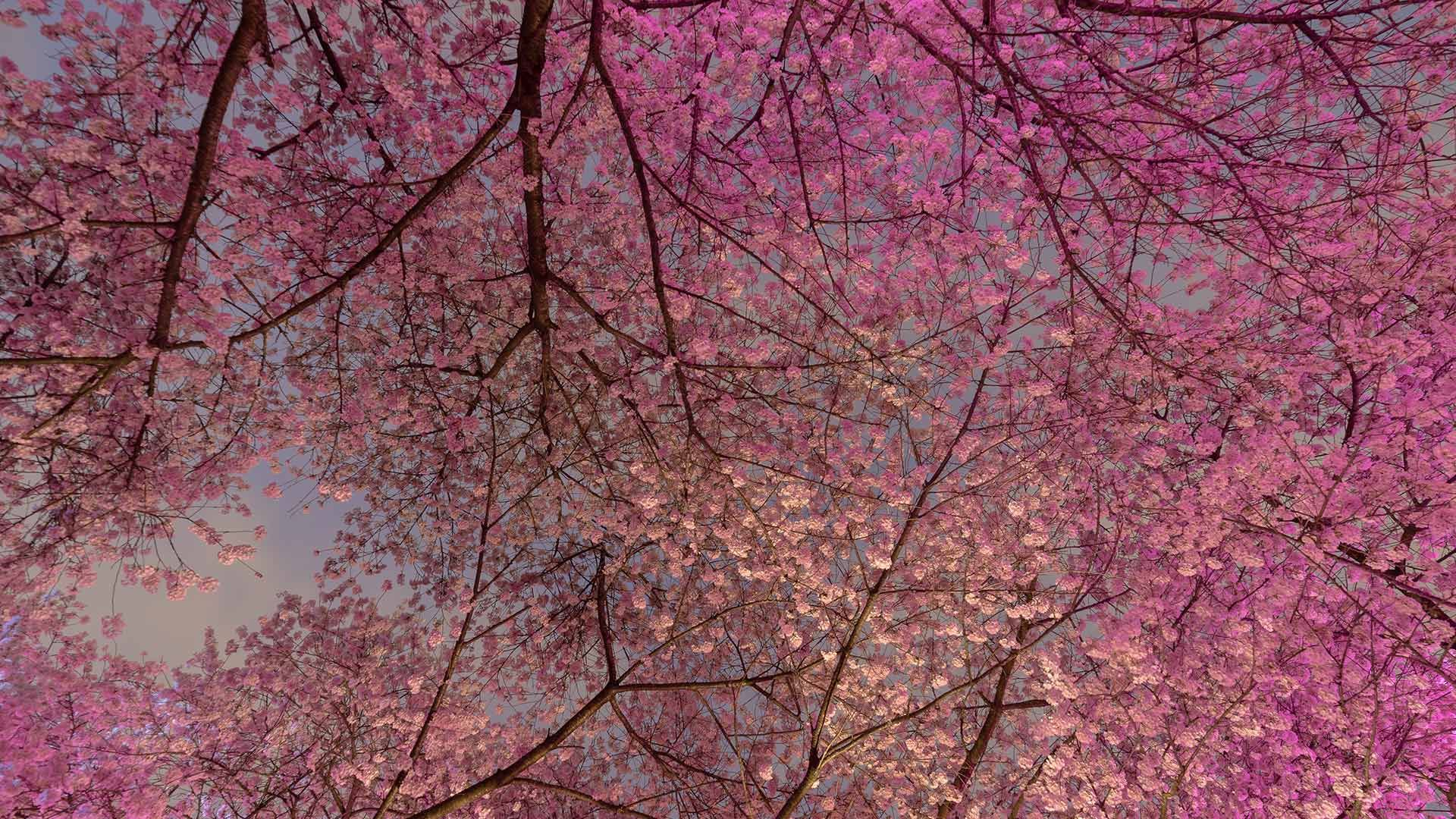 Blooming Cherry Trees In Vancouver B C Canada Bun Lee Getty Images Cherry Blossom Tree Blossom Trees Cherry Blossom Festival