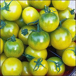 """Green Grape tomato. (Solanum lycopersicum) A selection made from Thomas Wagner's Thompson Seedless Grape. Unique olive yellow 1"""" cherry tomatoes on very productive plants. Addictive spicy sweet flavor. Determinate, 80-90 days from transplant.  http://www.seedsavers.org/Details.aspx?itemNo=1231"""