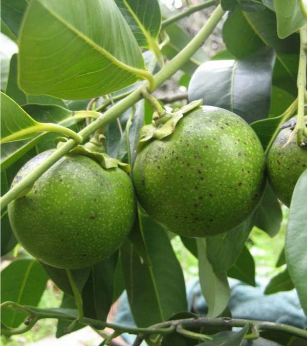 schokoladen apfen exotische pflanzen exotische blumen Früchte - tropische pflanzen im garten