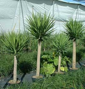 Outdoor Yucca Plant Care.Yucca Plant Care Yucca Plant Plants Yucca Plant Care