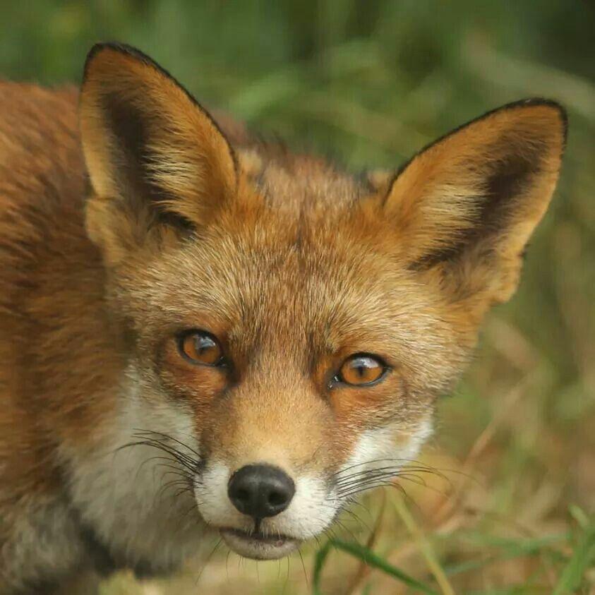 De vos is in Nederland een beschermend dier.