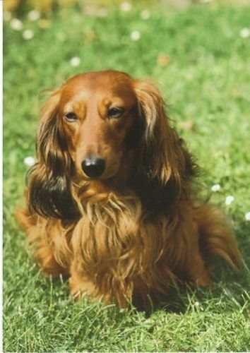 Vintage Postcard Red Longhair Dachshund Grass Wildflowers