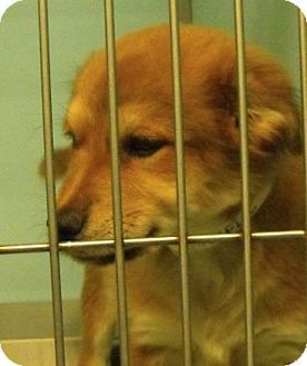Fort Collins Co Golden Retriever Shepherd Unknown Type Mix Meet Thankful A Puppy For Adoption Http Www Adoptapet Kitten Adoption Puppy Adoption Pets
