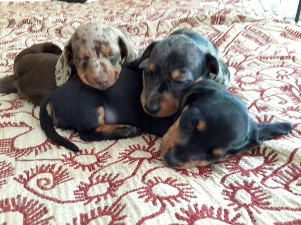 Mini Dachshund Puppies 2 Weeks Old Puppies Mini Dachshund