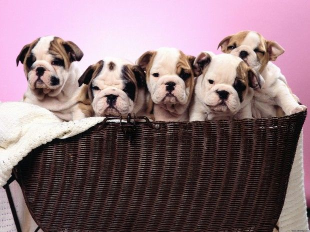 These Wrinkly Puppies Are The World S Cutest Animals Bulldog