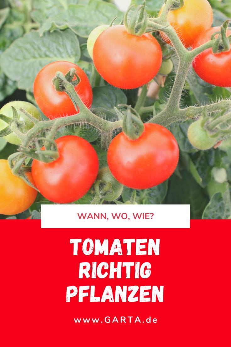 Beim Einpflanzen Von Tomaten Gibt Es Einiges Zu Beachten Neben Dem Standort Ist Auch Der Zeitpunkt Entscheidend Was Es Sonst Noch Zu In 2020 Tomaten Pflanzen Anbau