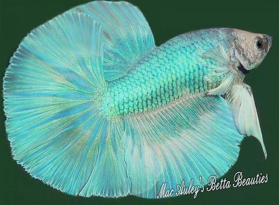 Light green betta by karen mcauley bettas pinterest for Betta fish friends