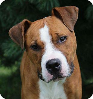 Westampton, NJ Boxer Mix. Meet Balboa A32195167, a dog