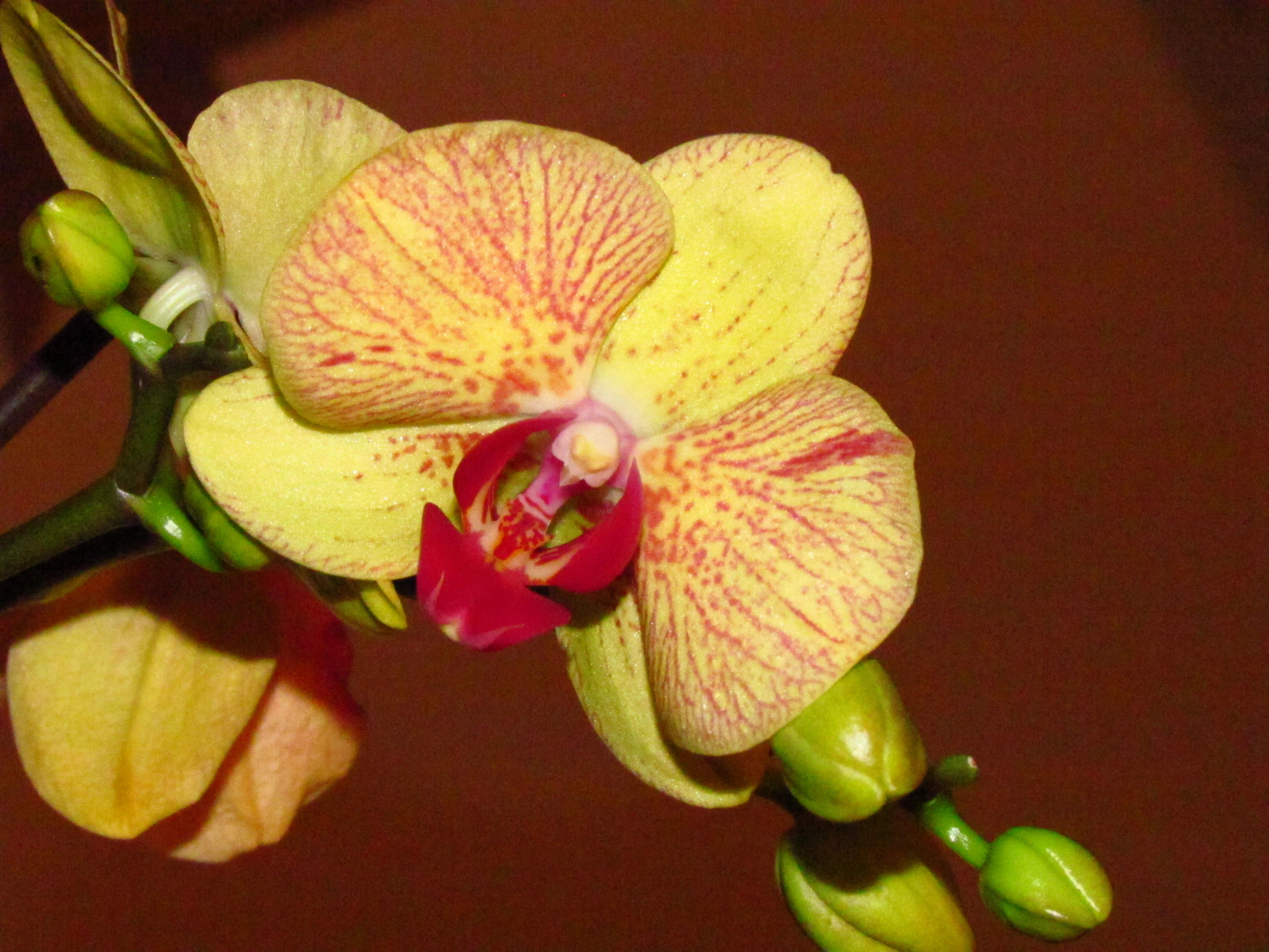 Orchids...I Call This One Tigger.