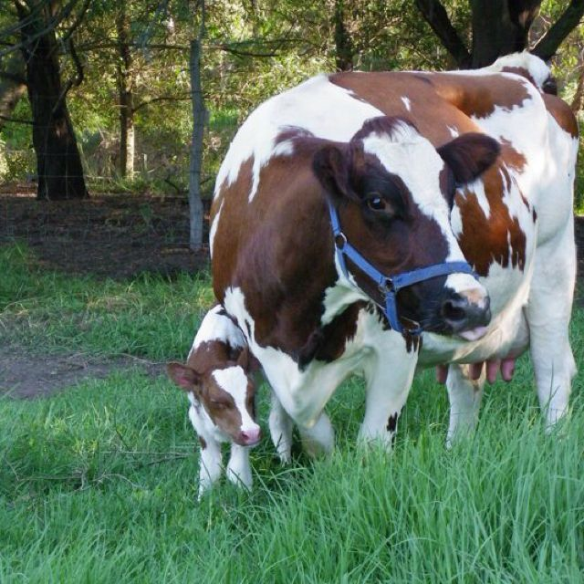 Mama and baby ayrshire Baby cows, Animals beautiful, Cow