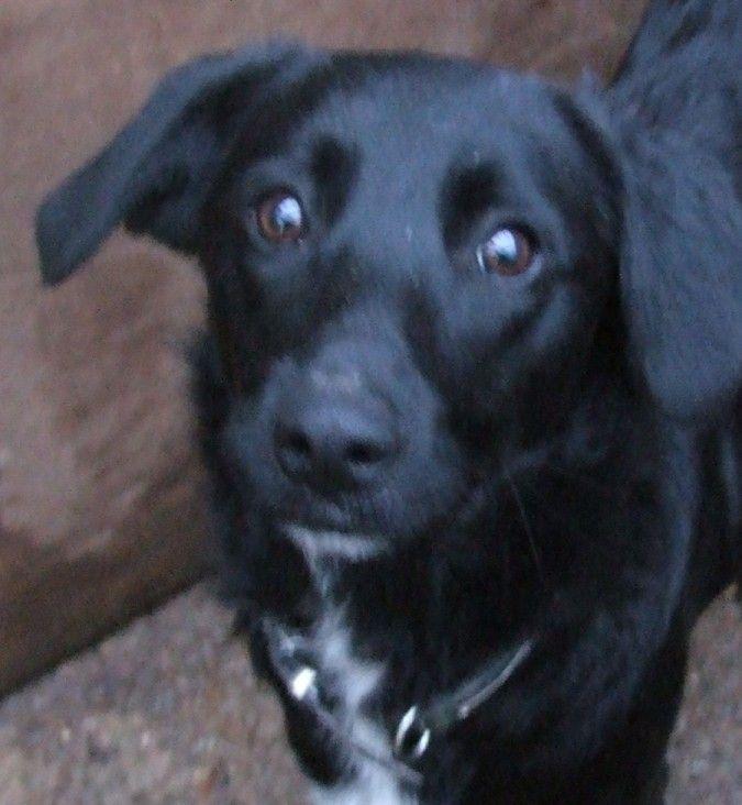 Kelpie Labrador Cross Dogs Cute Animals Cute Dogs