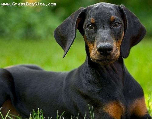 Love Dobees With Their Ears And Tail In Tact Doberman Doberman
