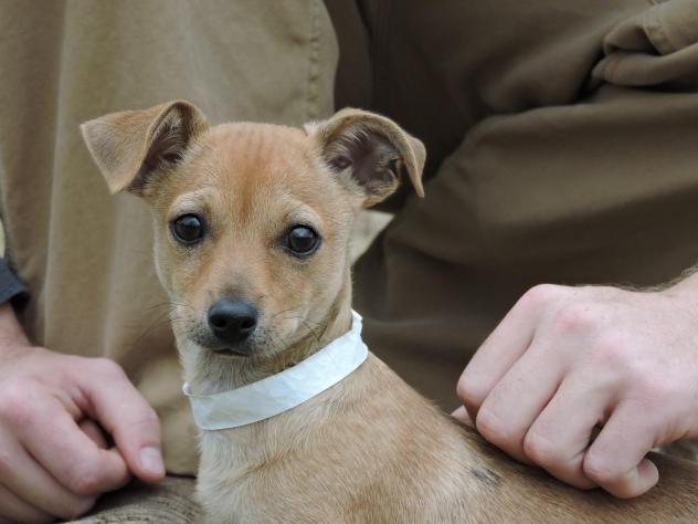 Jackson Adoption, Rescue dogs, Chihuahua mix