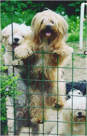 Look At What I Can Do Lol Havaneser Havaneser Hund Lustige Hunde
