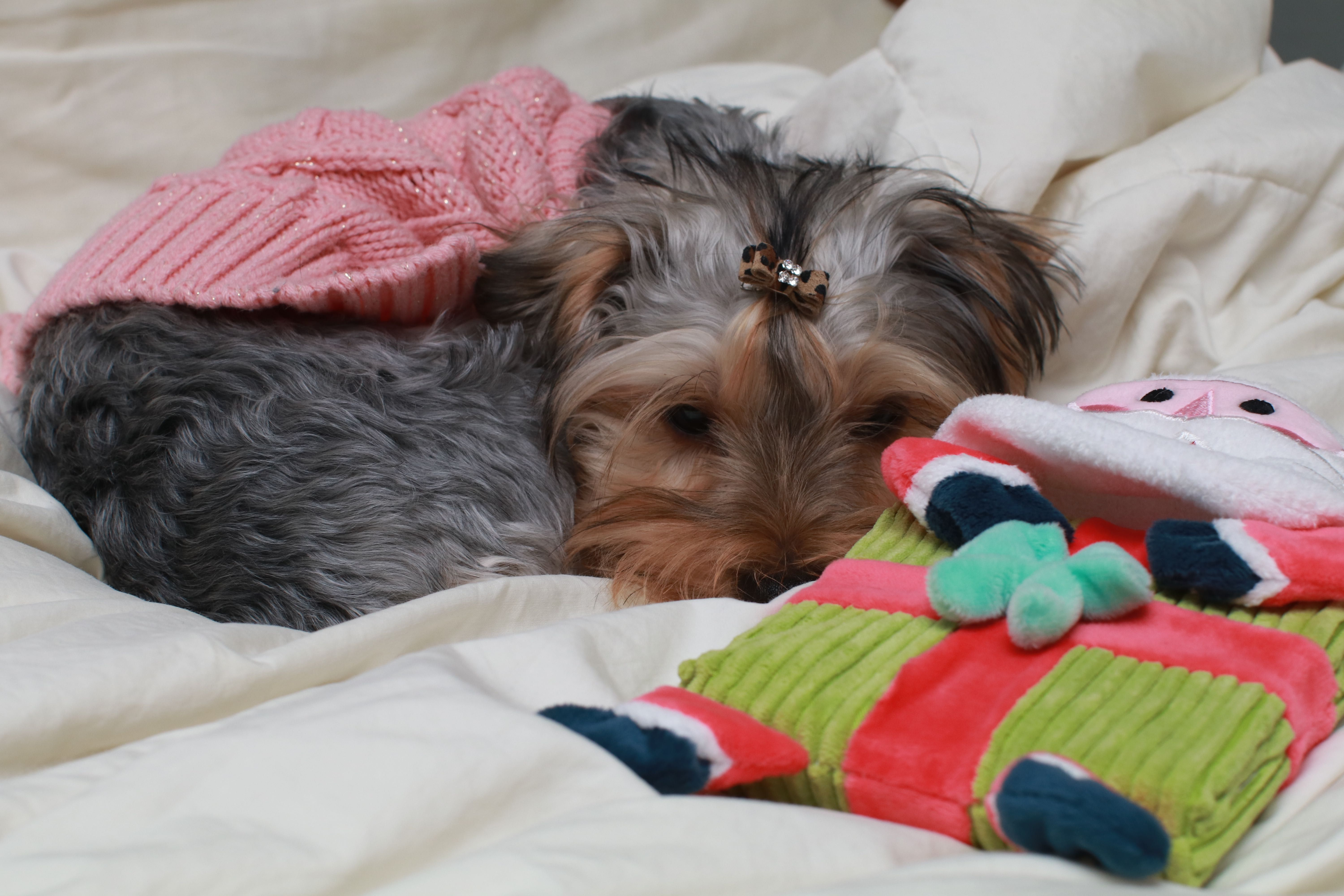 10 Vet Approved Tips To Help You Prepare For A Puppy Puppies Vets Yorkshire Terrier