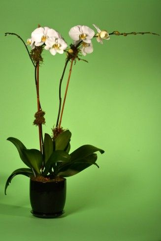 Double White Orchid Nyc Flower Delivery Orchid Delivery Orchids Orchid Plants